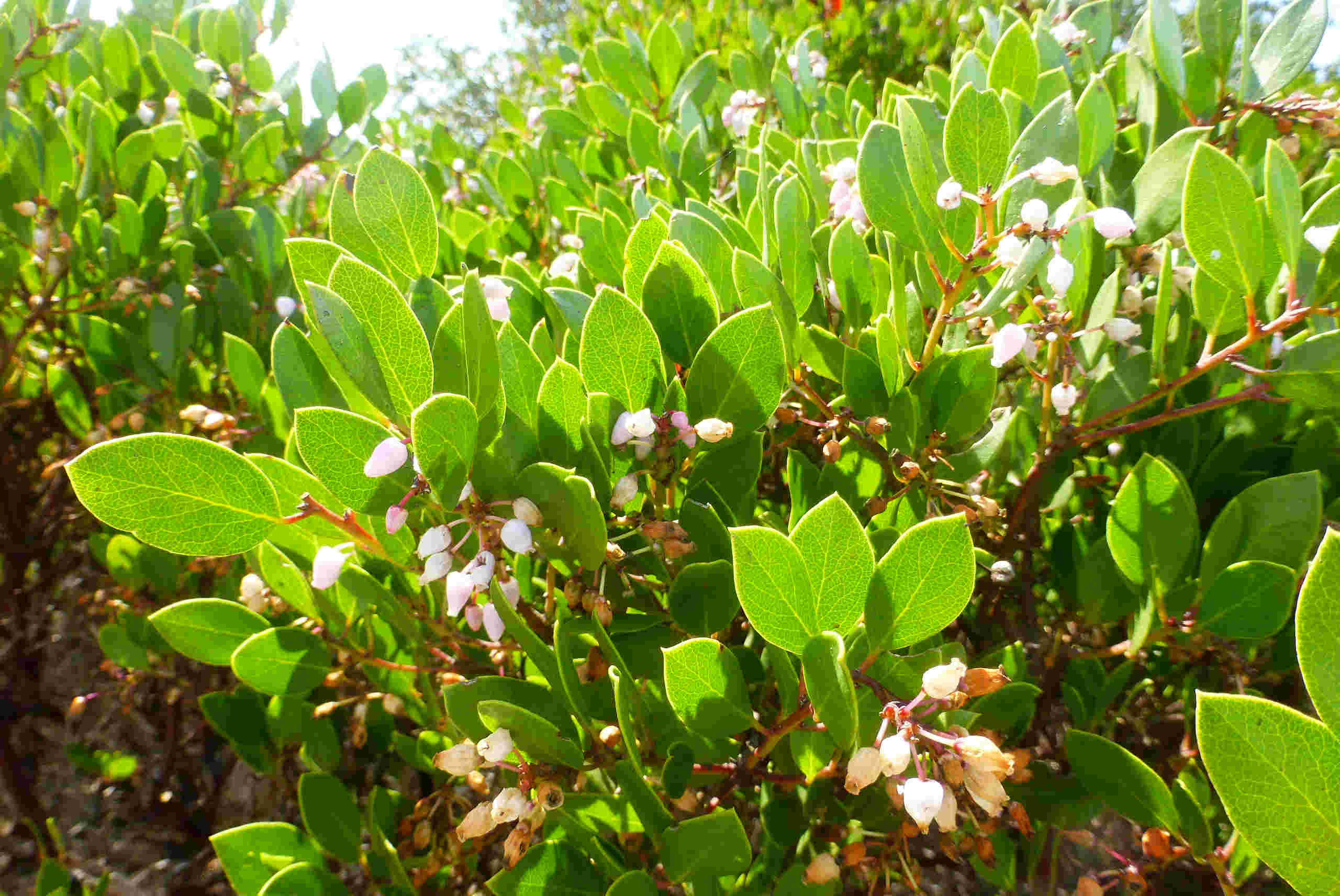 Manzanita flowers - some are turning brown